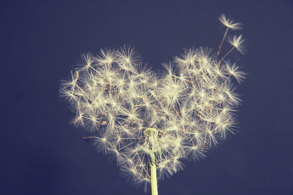 pollen pissenlit en forme de coeur